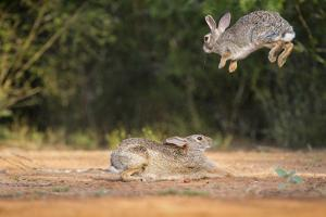Starr County, Texas. Eastern Cottontail Rabbits at Play by Larry Ditto
