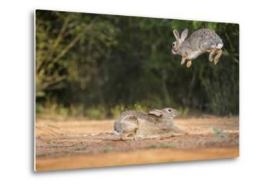 Starr County, Texas. Eastern Cottontail Rabbits at Play