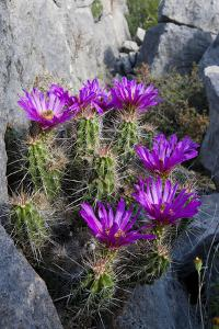 Strawberry Cactus or Pitaya Blooming in Rocky Desert Ledge by Larry Ditto