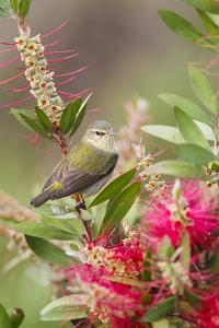 Tennessee Warbler (Vermivora peregrina) foraging for insects by Larry Ditto