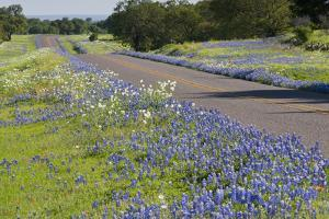 Texas Bluebonnet Flowers in Bloom, Central Texas, USA by Larry Ditto