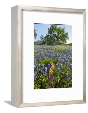 Texas Bluebonnet Flowers in Bloom, Central Texas, USA