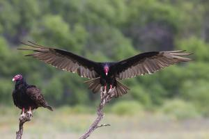 Turkey Vulture (Cathartes Aura) Landing, in Flight by Larry Ditto