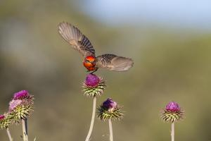 Vermilion Flycatcher (Pyrocephalus Rubinus) Male Perched by Larry Ditto