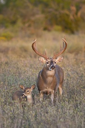 White-Tailed Deer Buck and Fawn in Field, Texas, USA