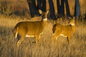 White-Tailed Deer Doe and Fawn by Larry Ditto