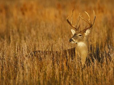 White-Tailed Deer in Grassland, Texas, USA