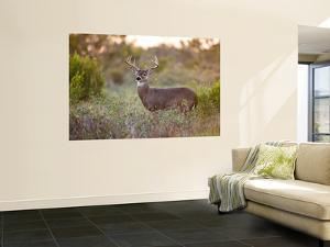 White-Tailed Deer in Grassland, Texas, USA by Larry Ditto