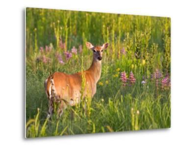 White-Tailed Deer in Wildflowers and Tall Grass, Oklahoma, USA