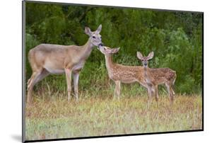 White-Tailed Deer (Odocoileus Virginianus) Doe with Fawns, Texas, USA by Larry Ditto