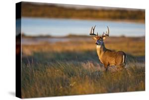 White-Tailed Deer (Odocoileus Virginianus) Male in Habitat, Texas, USA by Larry Ditto