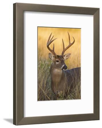 White-Tailed Deer (Odocoileus Virginianus) Male in Habitat, Texas, USA