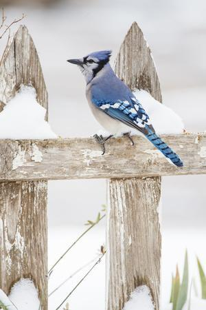 Wichita County, Texas. Blue Jay, Cyanocitta Cristata, Feeding in Snow