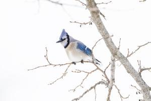 Wichita County, Texas. Blue Jay, Cyanocitta Cristata, Feeding in Snow by Larry Ditto