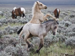 Wild Horse Babies Playing, Wyoming, Usa by Larry Ditto