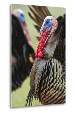 Wild Turkey (Meleagris Gallopavo) Male Strutting, Texas, USA