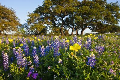 Wildflowers and Live Oak in Texas Hill Country, Texas, USA