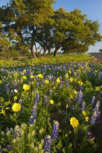 Wildflowers and Live Oak in Texas Hill Country, Texas, USA by Larry Ditto