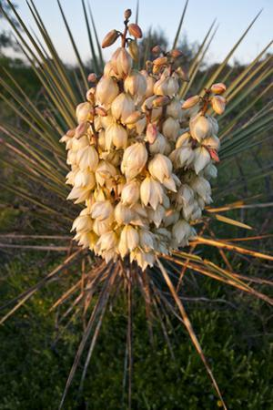 Yucca (Yucca Sp) Blooming in Texas Hill Country, Texas, USA by Larry Ditto