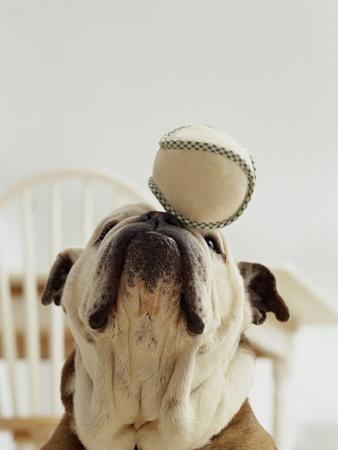 Bulldog Balancing Ball on Nose