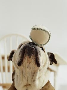 Bulldog Balancing Ball on Nose by Larry Williams