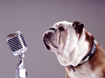 Bulldog Preparing to Sing into Microphone