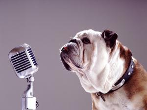 Bulldog Preparing to Sing into Microphone by Larry Williams