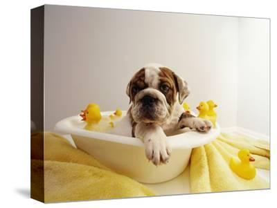 Bulldog Puppy in Miniature Bathtub