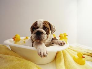 Bulldog Puppy in Miniature Bathtub by Larry Williams