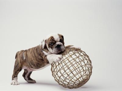 Bulldog Puppy Playing with Metal Sphere by Larry Williams