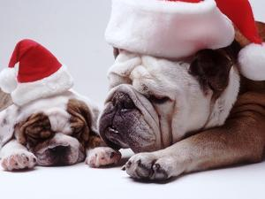 Bulldog Santas by Larry Williams