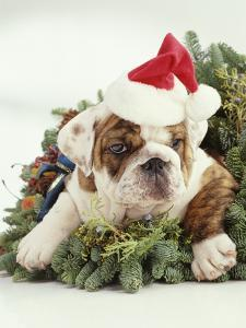 Bulldog Wearing Santa Claus Hat by Larry Williams