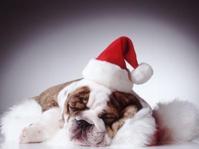 Bulldog Wearing Santa Hat
