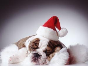 Bulldog Wearing Santa Hat by Larry Williams