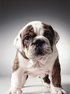 English Bulldog Puppy by Larry Williams