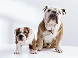 English Bulldog with Puppy by Larry Williams