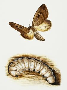 Larva and Butterfly of Bogong Moth (Agrotis Infusa), Noctuidae, Artwork by Mike Atkinson