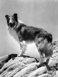 Lassie Come Home, 1943