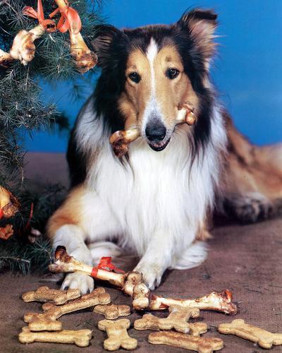 Lassie--Photo