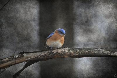 Last Day Home Bluebird-Jai Johnson-Giclee Print