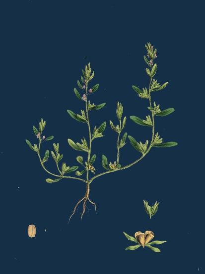 Lathaea Squamaria; Toothwort--Giclee Print