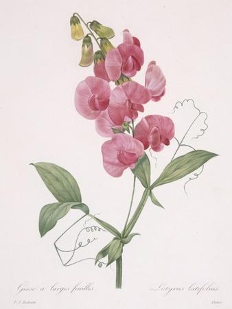 https://imgc.artprintimages.com/img/print/lathyrus-latifolius-everlasting-pea-1827_u-l-purmq80.jpg?p=0