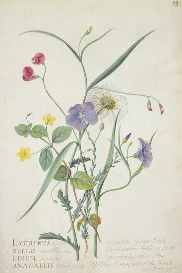 Lathyrus Nissolia, Chrysanthemum Leucanthemum, Linum Perenne, Lysimackia Nemorum, 1767-Georg Dionysius Ehret-Giclee Print