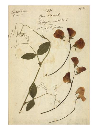 Lathyrus--Premium Giclee Print