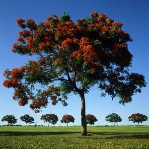 The Flame Tree, or Royal Poiniana Is a Tropical Flowering Plant, Dubai by LatitudeStock
