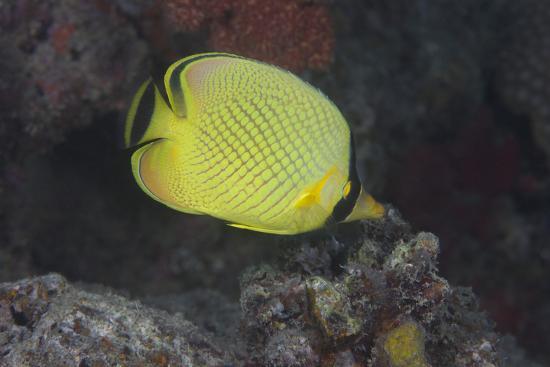 Latticed Buterflyfish, Fiji-Stocktrek Images-Photographic Print
