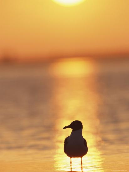 Laughing Gull, Florida-Roy Toft-Premium Photographic Print