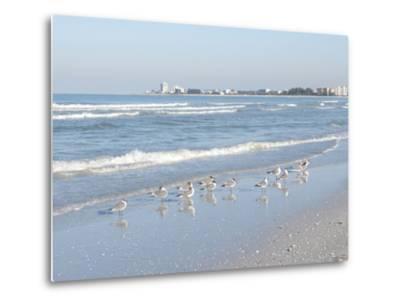 Laughing Gulls Along Crescent Beach, Sarasota, Florida, USA-Bernard Friel-Metal Print