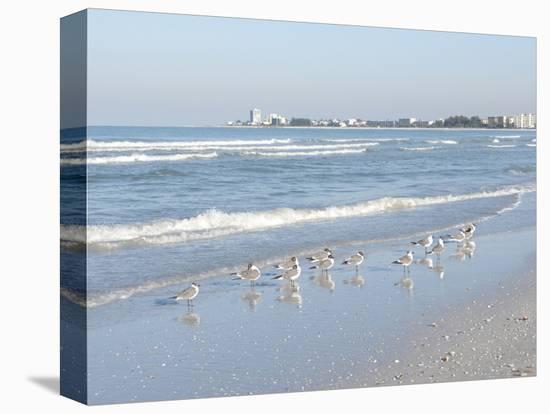 Laughing Gulls Along Crescent Beach, Sarasota, Florida, USA-Bernard Friel-Stretched Canvas Print
