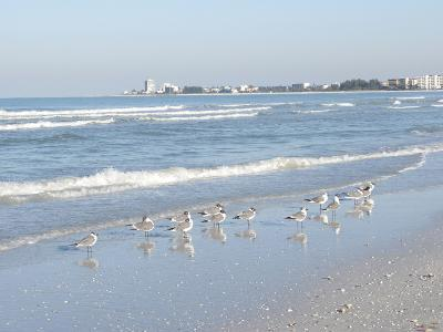 Laughing Gulls Along Crescent Beach, Sarasota, Florida, USA-Bernard Friel-Photographic Print